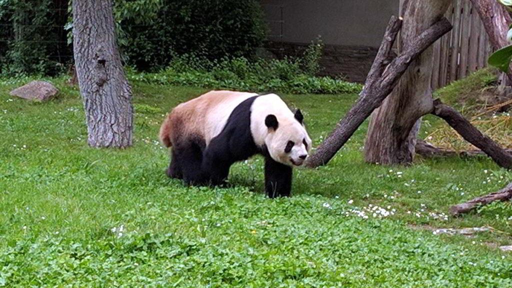 Oso Panda en el Zoo Acuario de Madrid